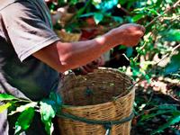Выращивание кофе Rombouts